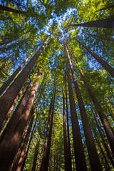 Baumkronen in den Redwoods