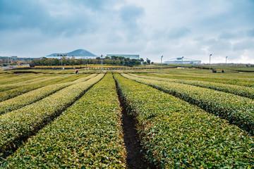 Osulloc green tea field in Jeju Island, Korea