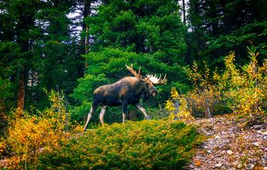Canadian Moose in Jasper National Park