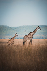 Photo sur Aluminium Girafe Two wild giraffes in kenya