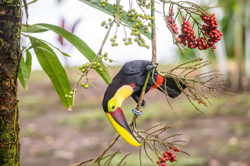 Deurstickers Toekan Yellow throated toucan closeup portrait eating fruit of a Palm tree in famous Tortuguero national park Costa Rica
