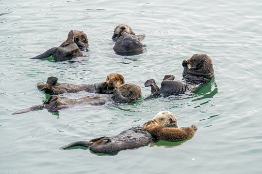 Southern Sea Otter mother and baby.