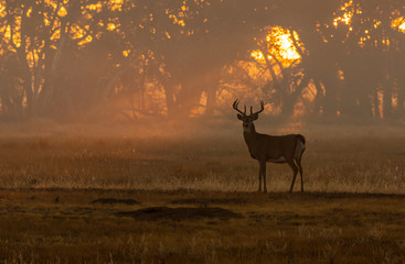 A Beautiful White-tailed Deer Buck at Sunrise Wall mural