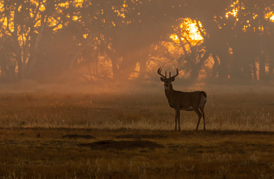 A Beautiful White-tailed Deer Buck at Sunrise