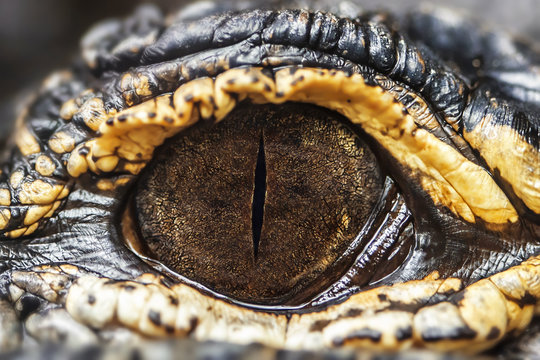 Eye of the American caiman. Very close