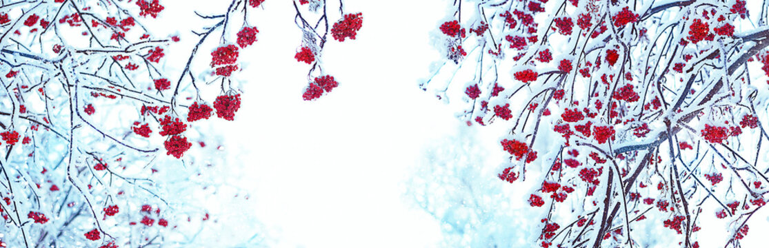 Rowan tree in snow. artistic winter background. frozen bunches of Red rowan berries covered with snow. new year and christmas time. banner. copy space