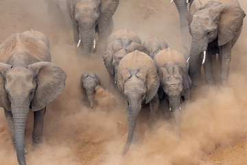 Autocollant pour porte Elephant Elephants running in a dry riverbed with lots of dust in Kruger National Park, South Africa
