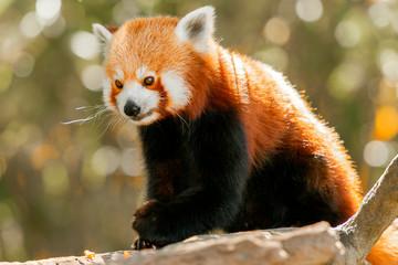 Poster Panda Red Panda in nature during the daytime