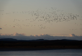 Large group of cranes flying at dusk over the horizon
