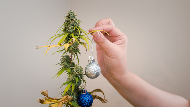 The young person decorates medical marijuana plant growing indoor