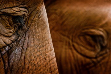 selective focus and extreme close up view of side of elephant face and long eyelashes.