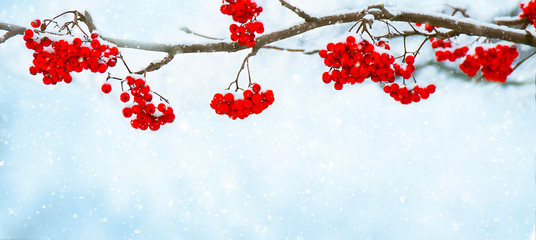 Nature Winter background with snowy Rowan branch Fototapete