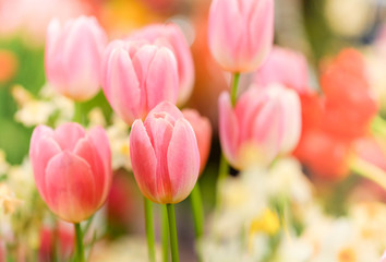 Spoed Foto op Canvas Tulp The beautiful tulip flowers in the garden using as the nature background and spring season wallpaper concept.