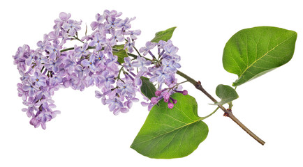 Wall Murals Lilac isolated light violet lilac bloom branch
