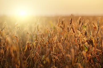 Foto auf Acrylglas Beige Soy field landscape at sunset time backlit by sun