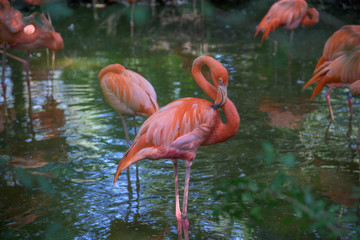 Garden Poster Flamingo Flock of pink flamingos in some shallow water