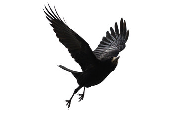 Poster de jardin Oiseau black bird flies on a white background