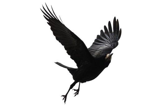 black bird flies on a white background