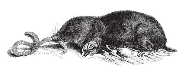 European Mole (Talpa europaea) / vintage illustration from Meyers Konversations-Lexikon 1897