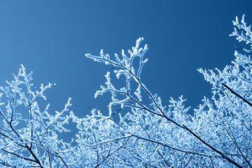 Winter background, brunches in snow on blue sky in classic blue trendy color. Color of the year 2020.