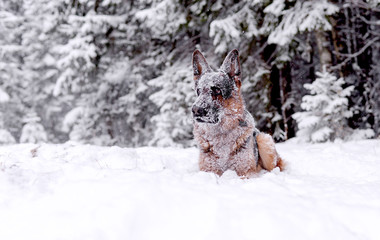 Winter, dog breed German shepherd lies strewn with snow in the woods
