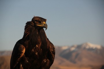 Closeup picture of a golden eagle with a yellow beak with mountains on a blurry background