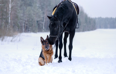 Dog breed German shepherd in winter in the snow sitting next to a black horse in the field, behind the forest