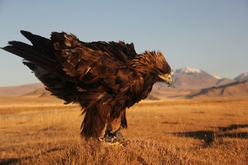 Picture of a golden eagle ready to fly in a deserted area with mountains on the blurry background
