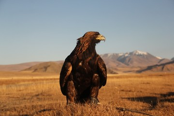 Picture of a golden eagle in a deserted area with mountains on a blurry background during sunset
