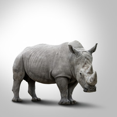 A white rhino on grey background