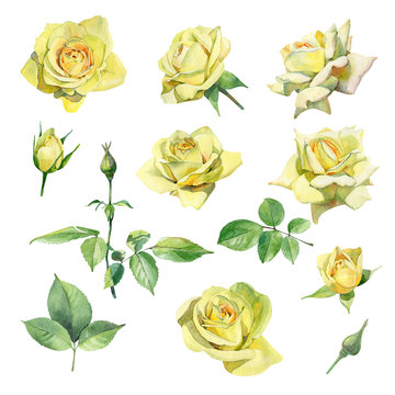Set of watercolor yellow roses on a white background
