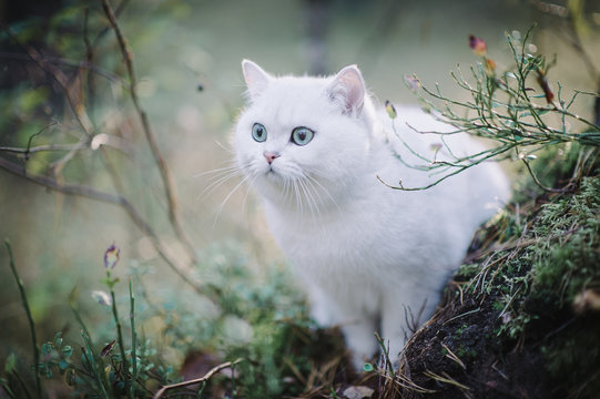 beautiful white, silver shaded british short hair cat with green eyes in the autumn forest. autumn colours. cat smelling and tasting autumn grass, mushrooms. Curious white cat, british shorthair breed