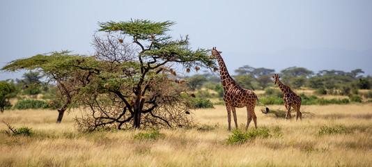 Fototapeten Giraffe Somalia giraffes eat the leaves of acacia trees