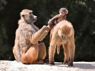 Adult baboons and young (Papio) on the ground
