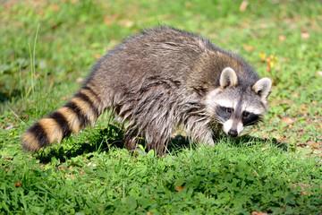 Closeup of Raccoon (Procyon lotor) on grass