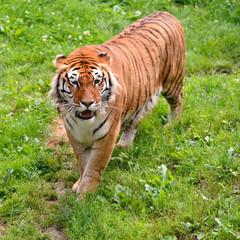 Closeup of tiger (Panthera tigris) on grass seen from above