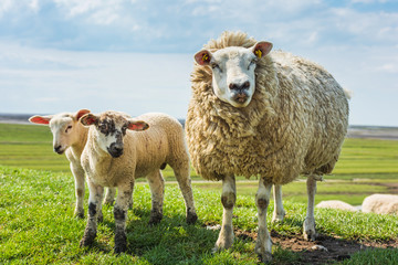 Sheep in Westerhever; Friesland; Germany