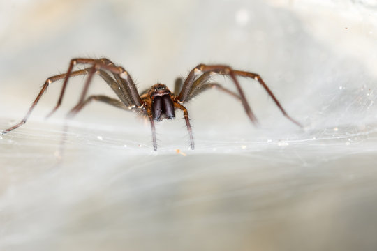 The giant house spider (Tegenaria sp) in a cave