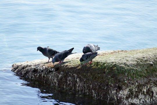 Piccioni sullo scoglio in riva al mare Adriatico. Sud Italia