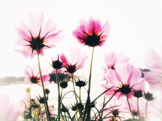 Fond de hotte en verre imprimé Univers Effect blurred and soft of background wallapaper with cosmos flower field in garden.