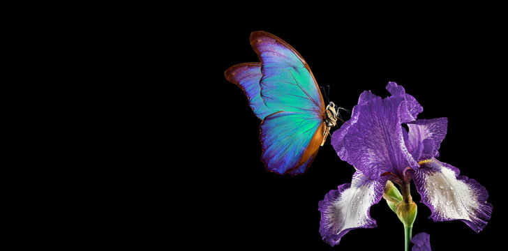 beautiful blue morpho butterfly on iris flower isolated on black. copy spaces