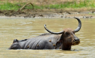Water Buffalo and frogs. / Refreshment of Water buffalo.  Male water buffalo bathing in the pond in Sri Lanka. The Sri Lanka wild water buffalo (Bubalus arnee migona),