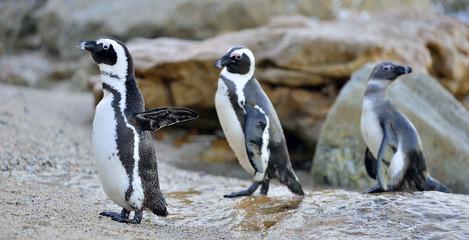 The African penguin (Spheniscus demersus). South Africa Fototapete
