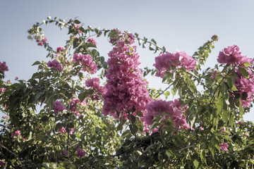 Pink bougainvillea blooming against the blue sky