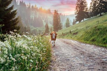 Foto auf Acrylglas Cappuccino Beautiful cows on a meadow somewhere in Transylvania.