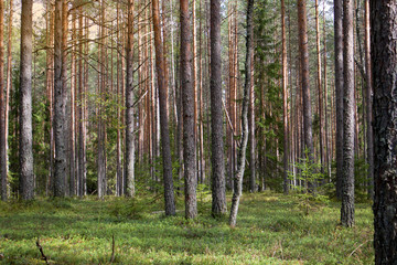 Papiers peints Forets Straight pine trunks of ship pine forest and carpet of grass and moss below