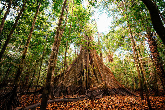 Giant tree in the jungle of the Amazon