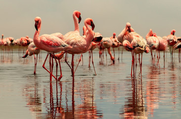 Wild african birds. Group birds of pink african flamingos  walking around the blue lagoon on a...