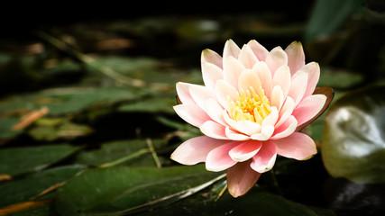 Garden Poster Lotus flower pink lotus flower in pond