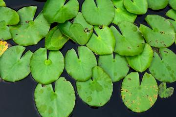 Waterlily pond at the botanic garden